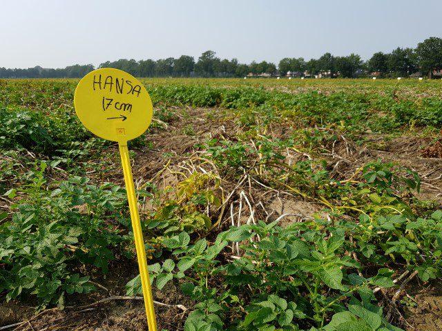 Aardappelveld met Hansa aardappelen
