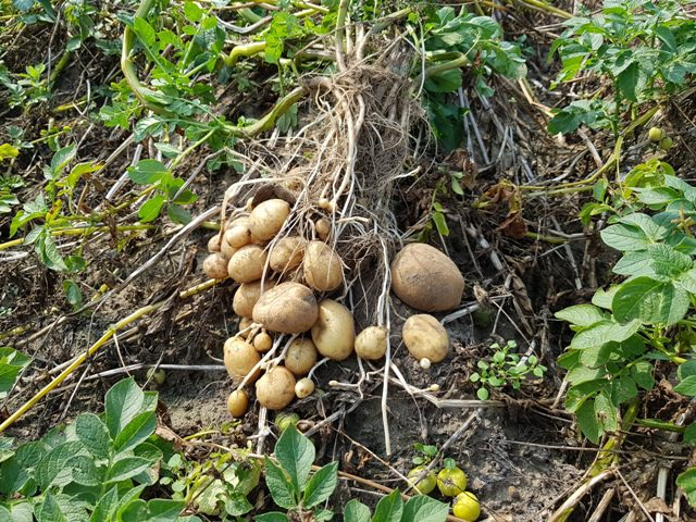 Doorgeschoten Hansa aardappelen