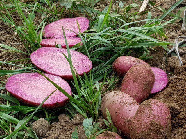 Nieuwe roze aardappelras - naamloos