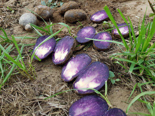 Nieuwe tweekleurige aardappelras - naamloos
