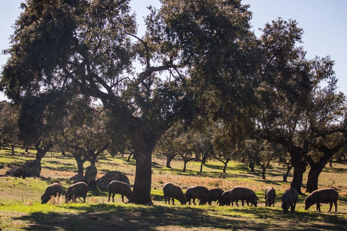 Pigs Extremadura