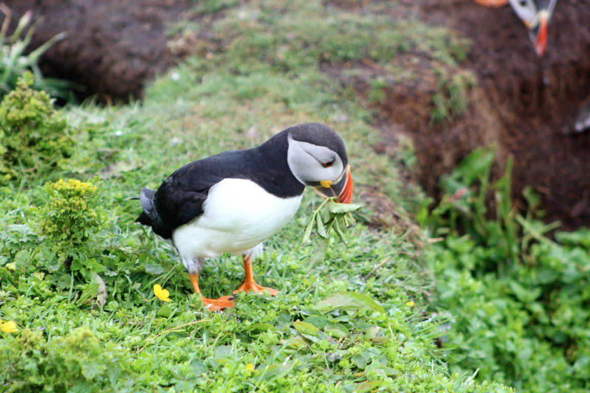 Puffin spotten in Schotland op de Treshnish isles