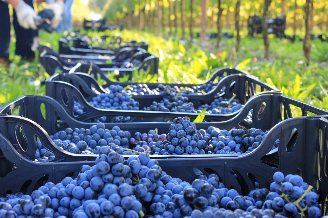 Raboso frizzante druiven